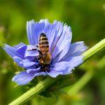 Chicoreeblüte und Biene